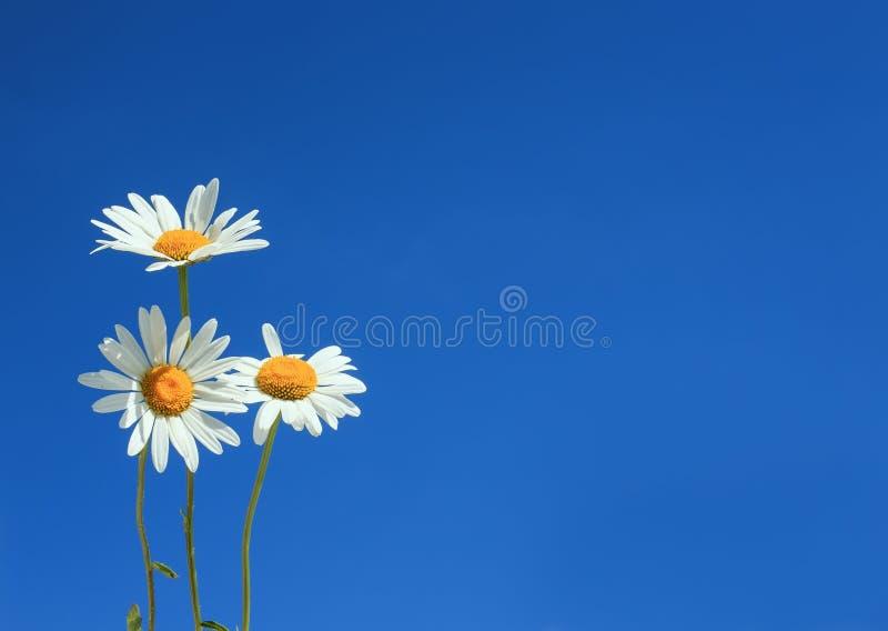 Natuurlijke achtergrondboeket van drie mooi wild bloemenwit stock afbeelding