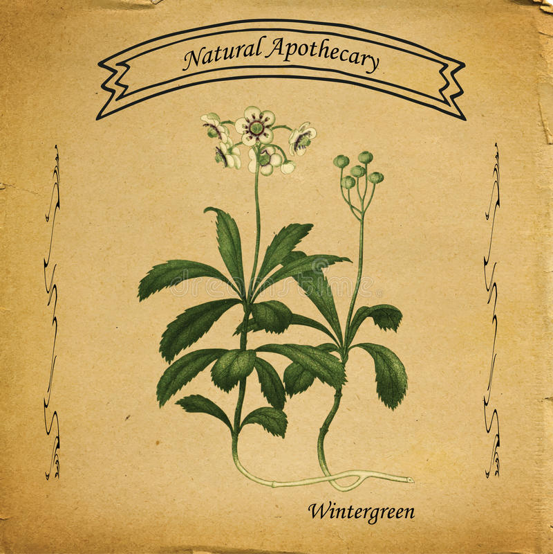 Natuurlijke Apotheker Wintergreen royalty-vrije illustratie