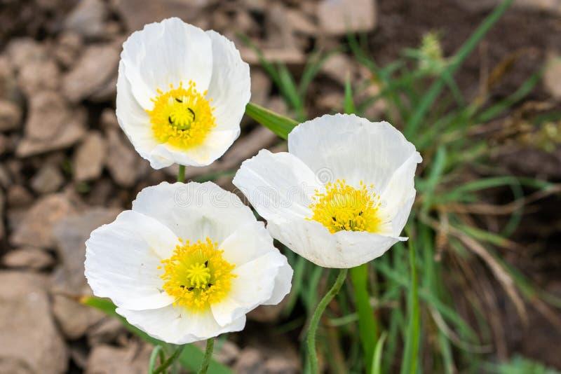 Natuurlijke backgound Foto van witte papaverbloemen in dichte omhooggaand stock afbeeldingen