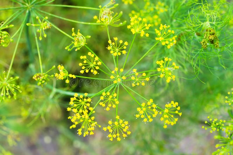 Natuurlijke bloemenachtergrond met de gele bloemen van dilleanethum in de tuin royalty-vrije stock foto