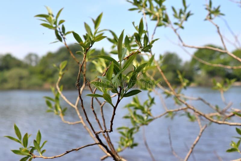 Natuurlijke en verse groene bladeren bij verschillende bomen in de lente royalty-vrije stock foto's