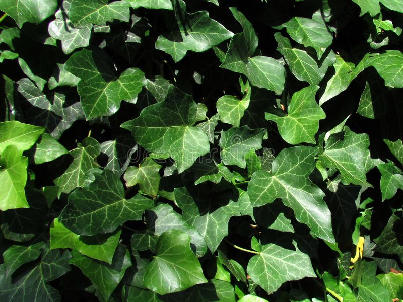 Natuurlijke fototextuur Close-up van klimop, botanische naam die Hedera, altijdgroene die installatie beklimmen, als geneeskracht royalty-vrije stock afbeelding
