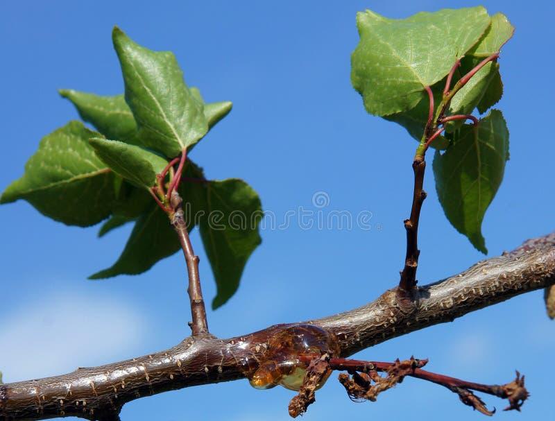 Natuurlijke gom op een tak van abrikozenboom stock foto