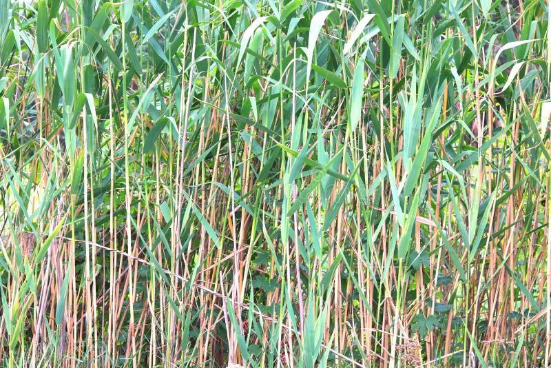 Natuurlijke groene de zomerachtergrond van zegge stock afbeelding