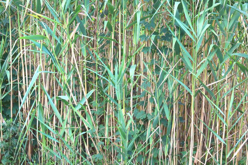 Natuurlijke groene de zomerachtergrond van zegge stock fotografie
