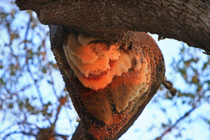 Natuurlijke Grote Bijenbijenkorf in de luifel van een boom in Zuiden Luangwa, Zambia stock foto's