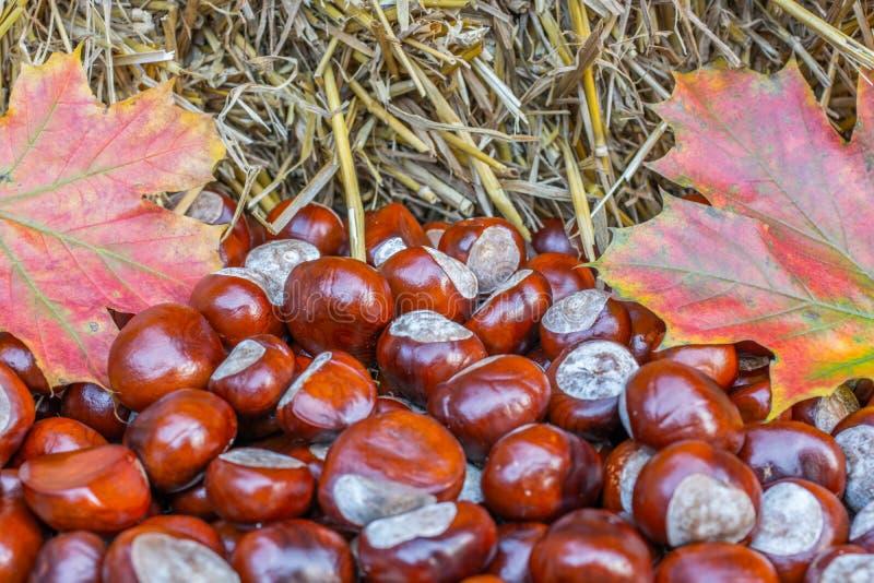 Natuurlijke herfstachtergrond van hooi, kastanjes en kleurrijk esdoornblad royalty-vrije stock fotografie