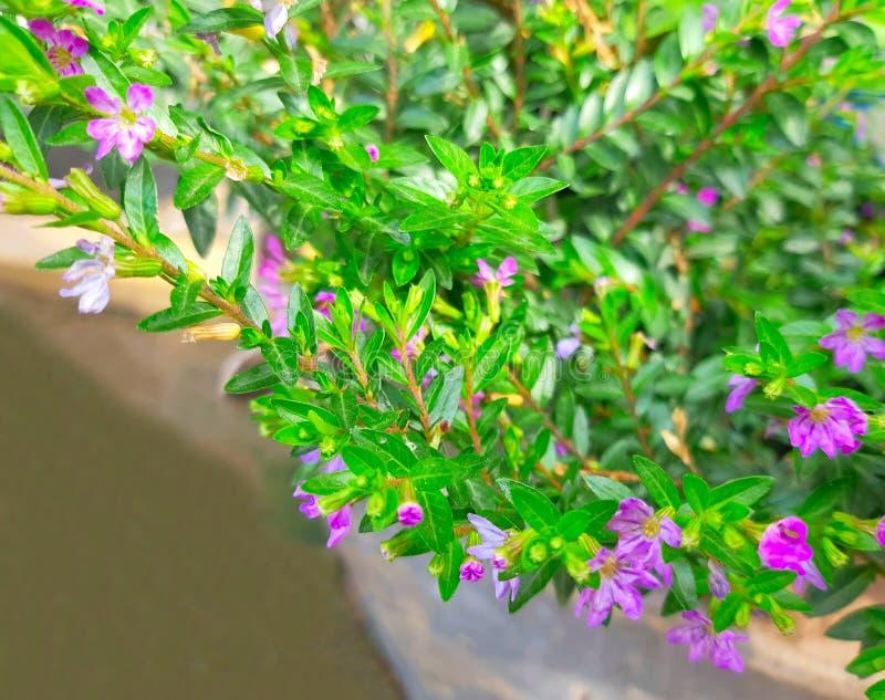 Natuurlijke installatie van Cuphea-hyssopifolia, de valse heide, Mexicaanse heide, Hawaiiaanse heide of elfachtig kruid stock foto