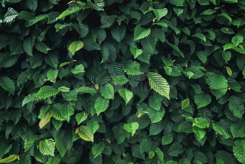 Natuurlijke Installatiebladeren en Altijdgroene Boomachtergrond, de Groene Textuur van de Bladaanplanting, Abstract Patroon en De royalty-vrije stock afbeelding