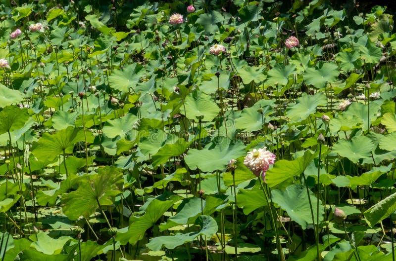 Natuurlijke lotusbloemvijver stock fotografie