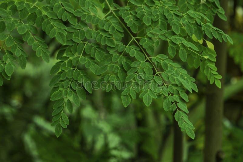Natuurlijke Moringa bladeren in de Tuin royalty-vrije stock afbeeldingen