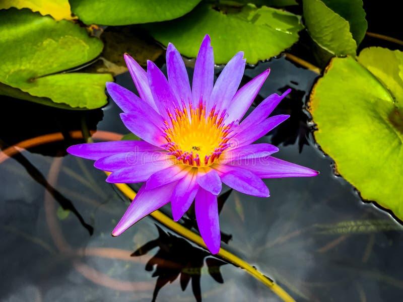 Natuurlijke purpere lotusbloem in de vijver met bij die op geel stuifmeel zwermen royalty-vrije stock foto's