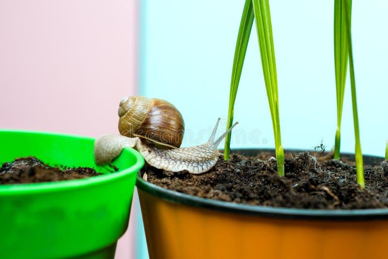 Natuurlijke remedies Aanbiddelijke slak dichte omhooggaand Weinig slijm met shell of slak in installatiepot Helend slijm Schoonhe royalty-vrije stock foto's