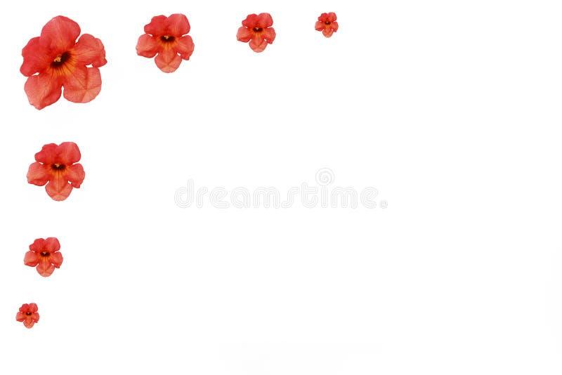 Natuurlijke rode oranje Oostindische kersbloemen met bloemblaadjes op witte achtergrond royalty-vrije stock afbeelding