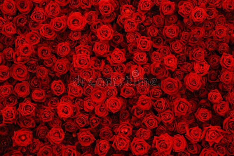 Natuurlijke rode rozenachtergrond, bloemenmuur stock afbeelding