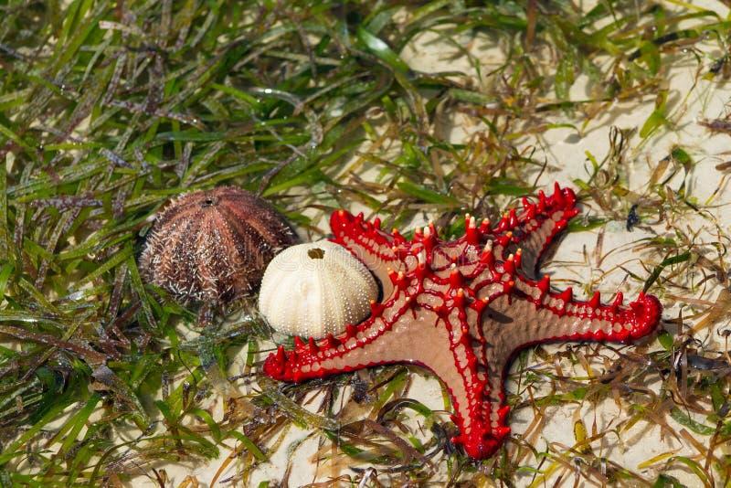 Natuurlijke rode seastar en shells royalty-vrije stock foto's
