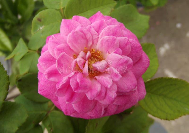 Natuurlijke Roze Rose Flower en Groene Bladeren stock fotografie