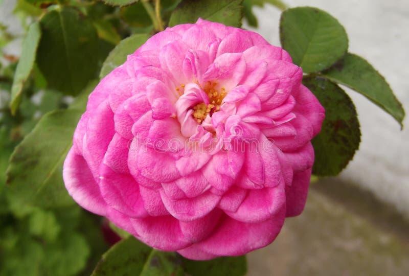 Natuurlijke Roze Rose Flower en Groene Bladeren royalty-vrije stock afbeeldingen