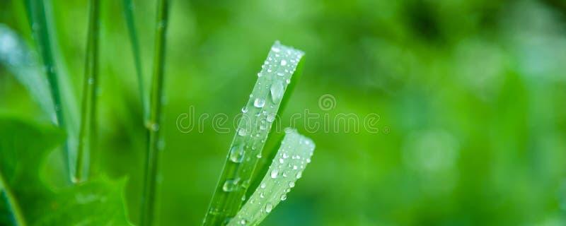 Natuurlijke weideachtergrond, patroon - dalingen van dauw op de bladeren van gras stock afbeelding