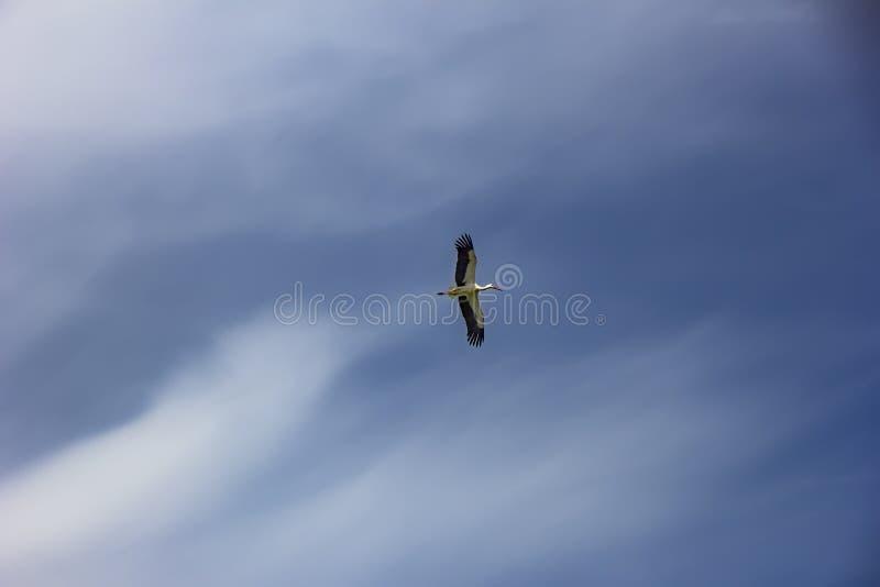 Natuurlijke witte ciconia van ooievaarsciconia tijdens de vlucht stock fotografie