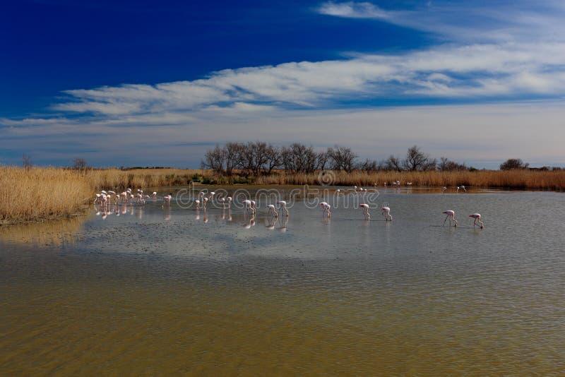 Natuurreservaat, Frankrijk De Zon van de zomer Troep van Grotere Flamingo, Phoenicopterus ruber, aardige roze vogel, die in het w royalty-vrije stock fotografie