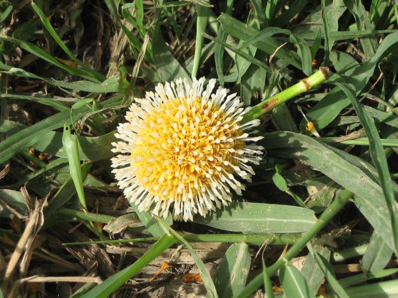 Nauclea orientalis zdjęcie royalty free