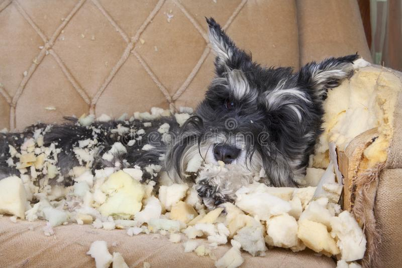 Naughty bad schnauzer puppy dog lies on a couch that she has just destroyed. stock photo