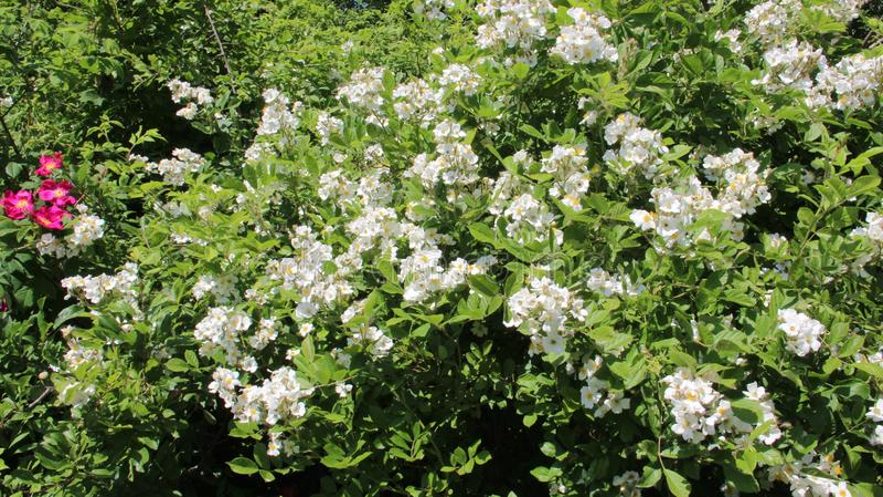 naughty Bloeiende Bloeiende Witte Wilde Rozen en Jonge Groene Bladeren stock afbeelding