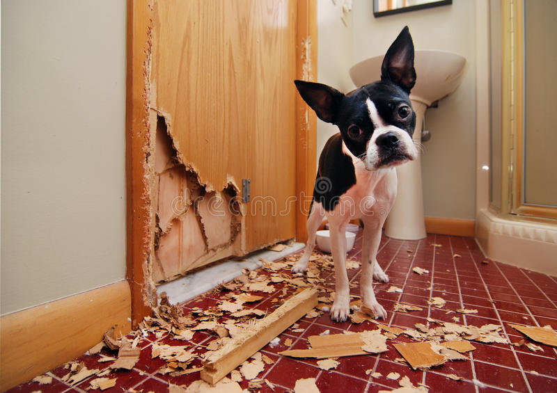 Naughty Boston Terrier stock images