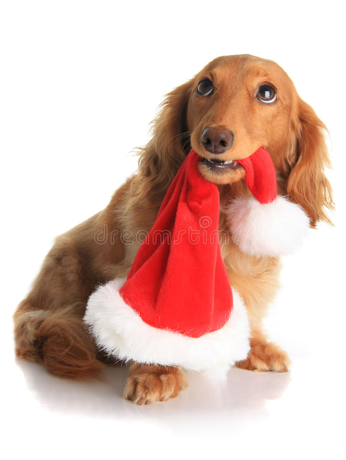 Naughty Christmas dog royalty free stock photos