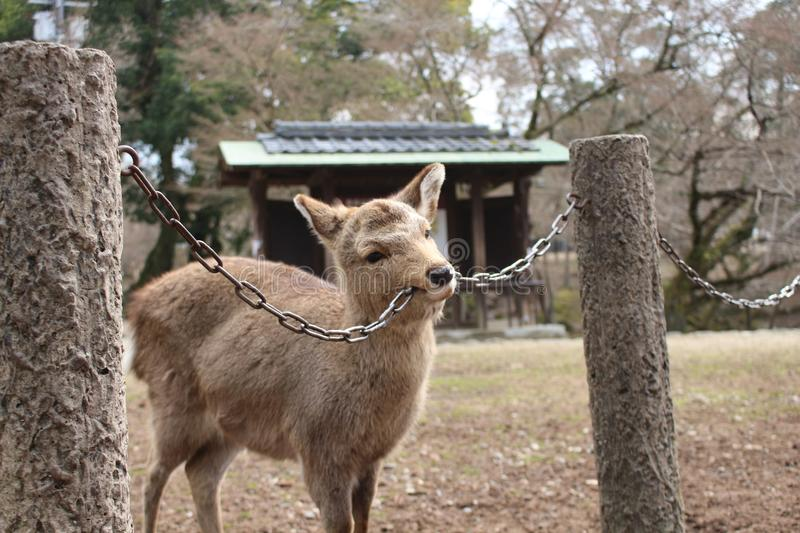 Naughty Deer. The deer waiting to be fed biting chains in Nara Park royalty free stock image