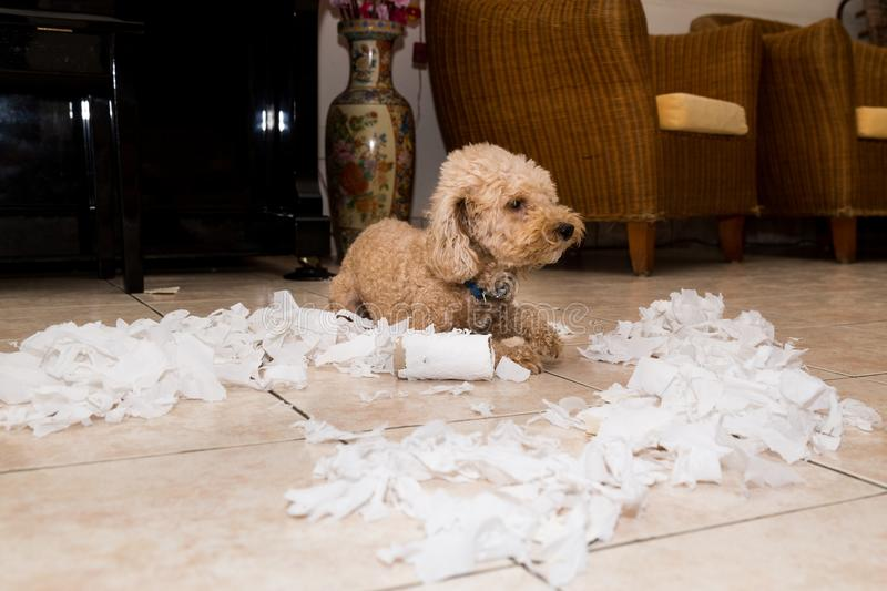 Naughty dog destroyed tissue roll into pieces when home alone royalty free stock photos