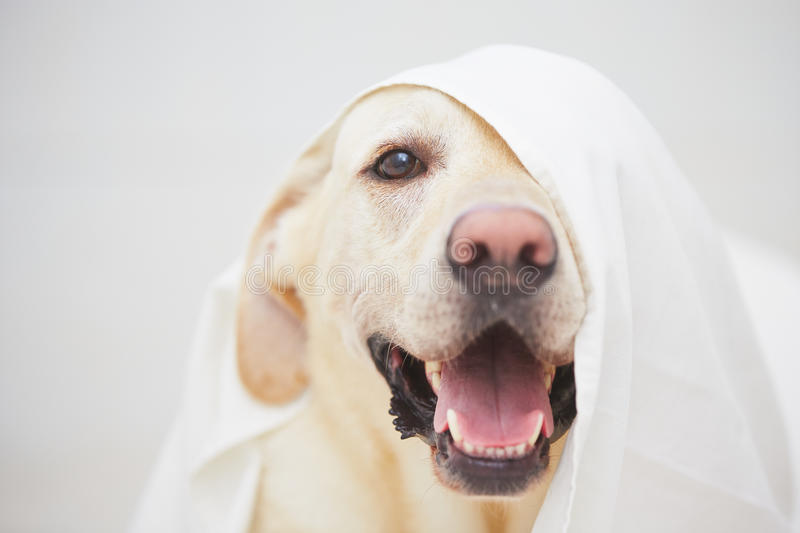 Naughty dog. Labrador retriever is playing with white bed sheet stock image