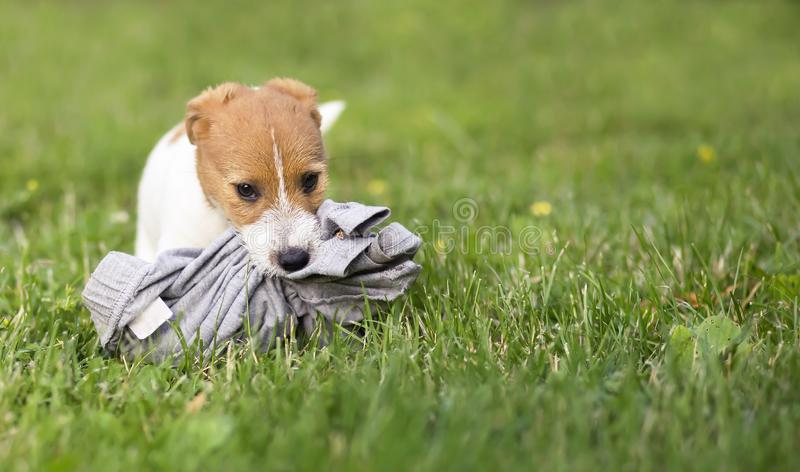 Naughty pet dog puppy, pet training concept royalty free stock photography