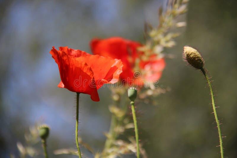 naughty Germogli e fiore rosso di fioritura dell'oppio immagini stock libere da diritti