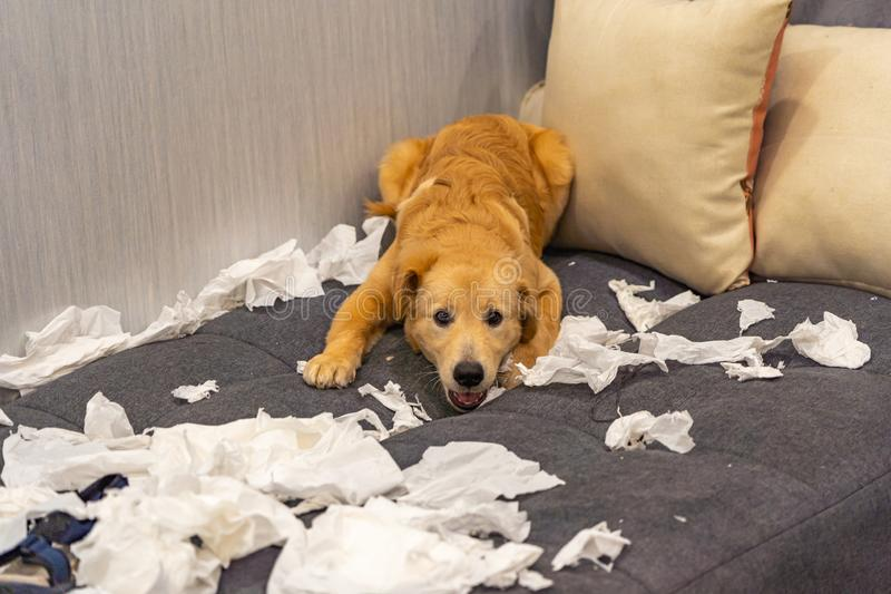 Mischief golden dog playing with white tissue papers on sofa royalty free stock photo