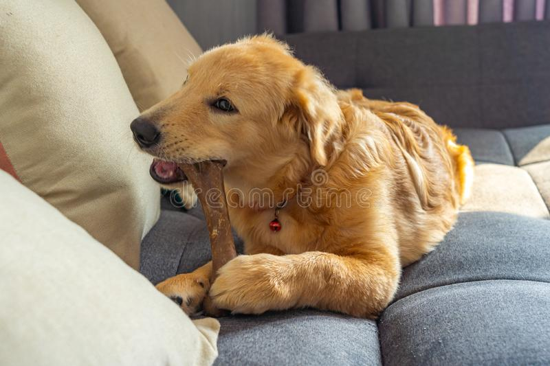 Naughty golden retriever playing and biting the rawhide bone. On sofa stock photos
