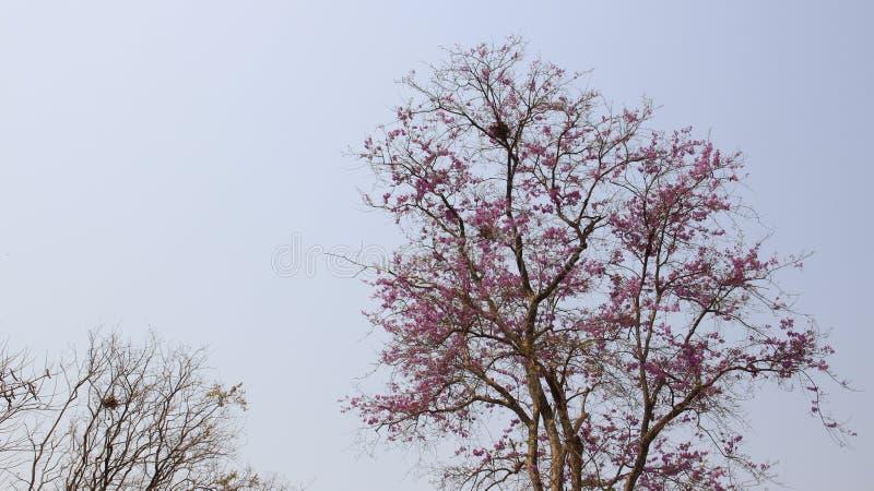 naughty Het bloeien Kleurrijke Lagerstroemia Loudoni royalty-vrije stock foto