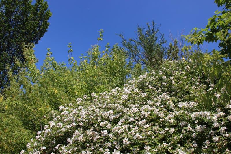 naughty Het bloeien het Bloeien Witte Wilde Rose And Green Leaves stock foto