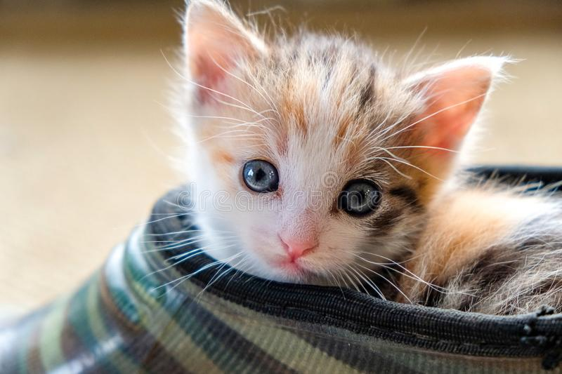 Little kitten in the Shoe stock image