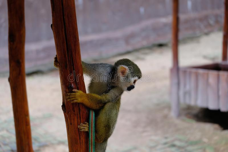 A naughty little monkey play royalty free stock photography