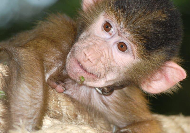 Naughty monkey. Close up of a naughty monkey head royalty free stock photos