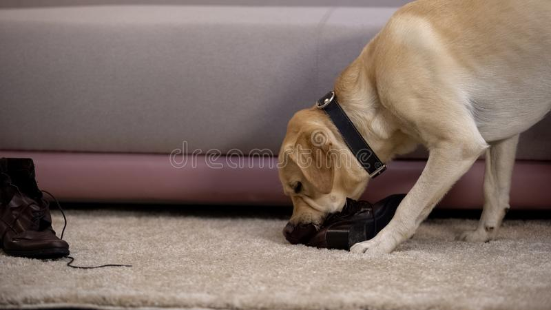 Naughty pedigreed dog chewing female owner shoes, pet misbehaving, discipline. Stock photo royalty free stock image