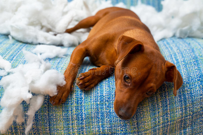 Naughty playful puppy dog after biting a pillow royalty free stock photos