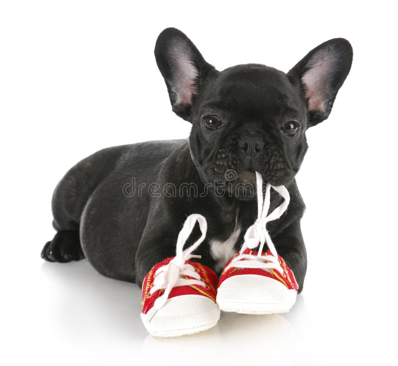 Naughty puppy royalty free stock images