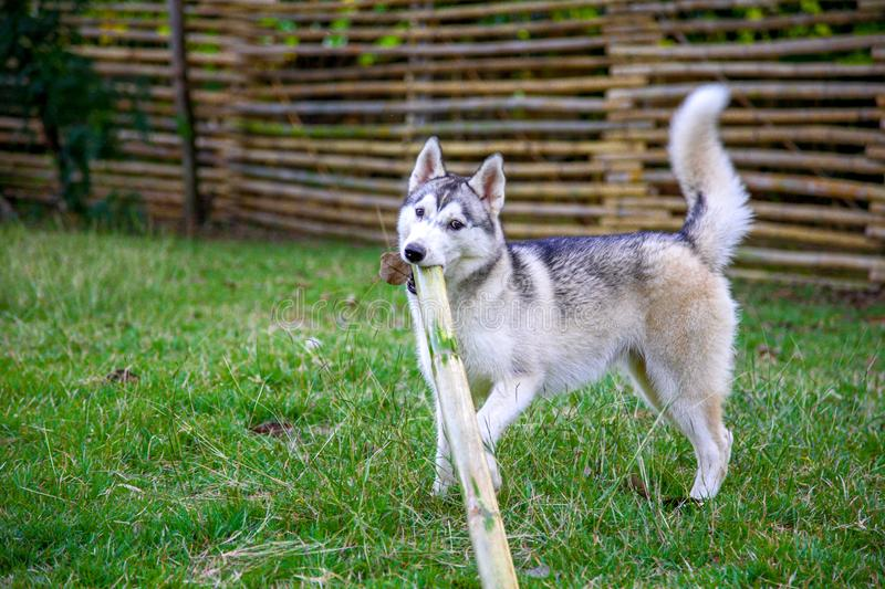 Naughty siberian husky is playing with a bamboo stick. Naughty siberian husky is playing with a bamboo stick on the green field in the park stock image