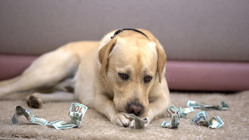 Naughty thoroughbred dog chewing dollar banknotes, lack of house pet discipline. Stock photo royalty free stock image