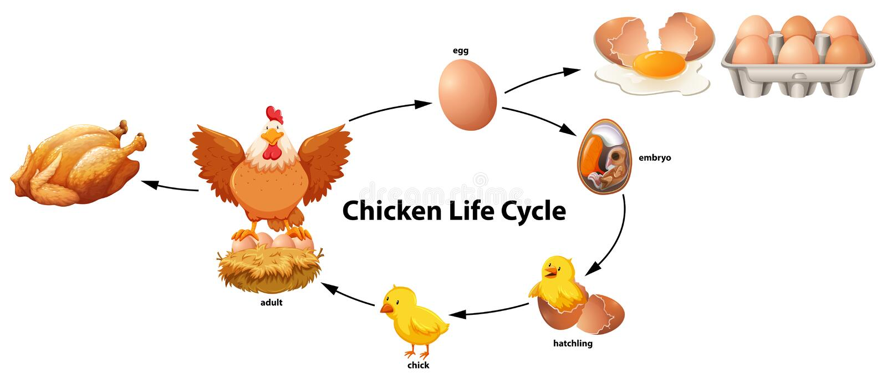 Nauka kurczaka etap życia ilustracja wektor