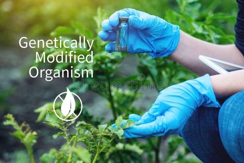 Naukowa genetyczny inżynier bada rośliny dla obecności genetyczna modyfikacja GMO produkty i organizmy fotografia stock