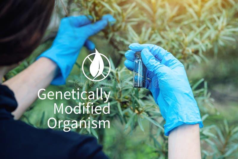 Naukowa genetyczny inżynier bada rośliny dla obecności genetyczna modyfikacja GMO produkty i organizmy zdjęcia stock